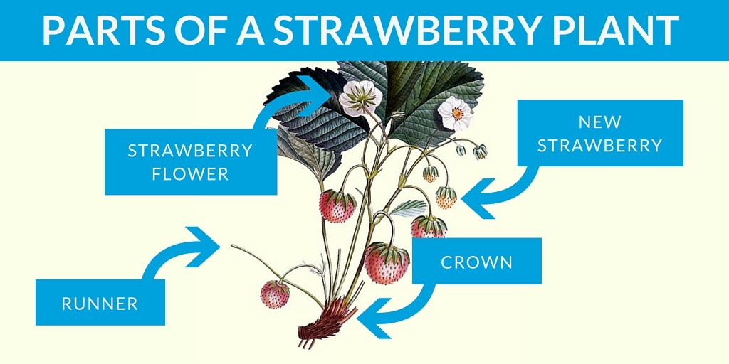 parts of a strawberry plant